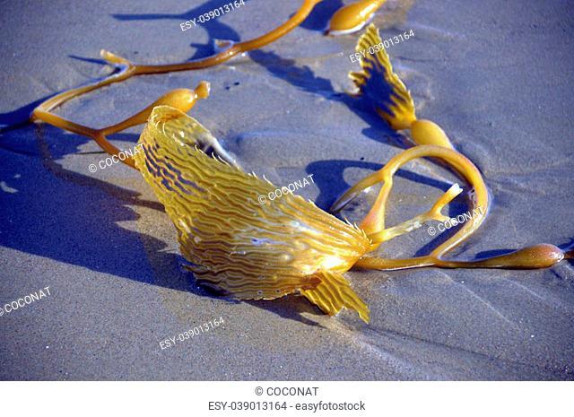 Makrotsistis algae in the ocean with big leaves on the beach