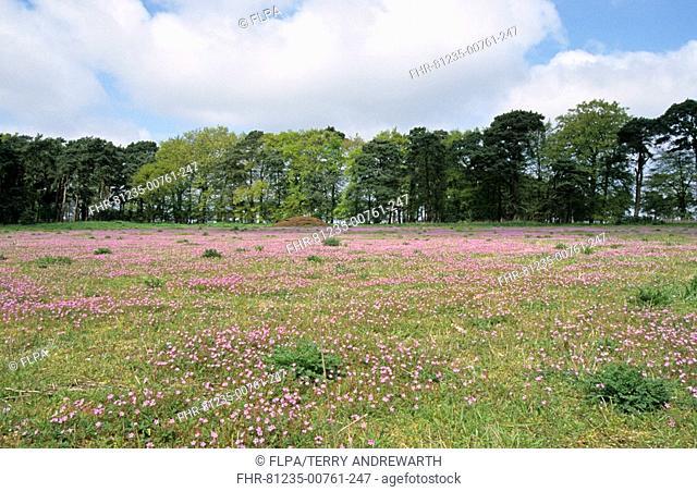 Wildflowers in set-a-side field, Breckland, Norfolk, England