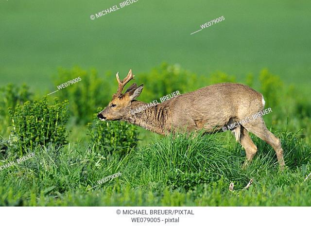 Roe deer, Roe buck, Capreolus capreolus, Germany