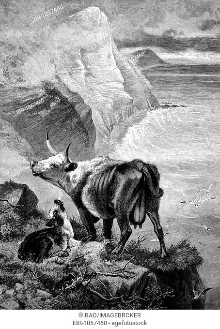Cow and calf in the mountains, historical illustration, 1884