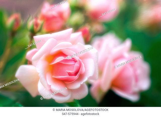 Pink Roses. Rosa hybrid. May 2006. Maryland, USA