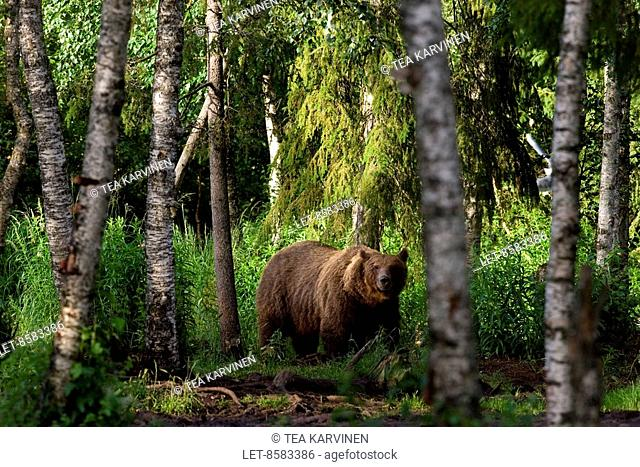 A bear or a grizzly bear Ursus arctos in the middle of a birch forest a couple of kilometres from the frontier zone in Suomussalmi wilderness, Finland