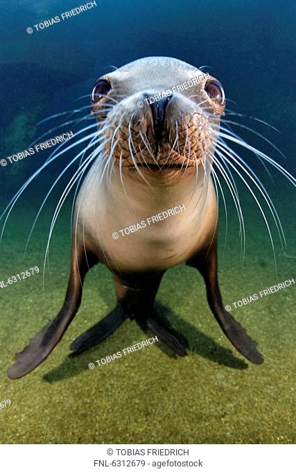 California sea lion Zalophus californianus, Zoo Karlsruhe, Germany