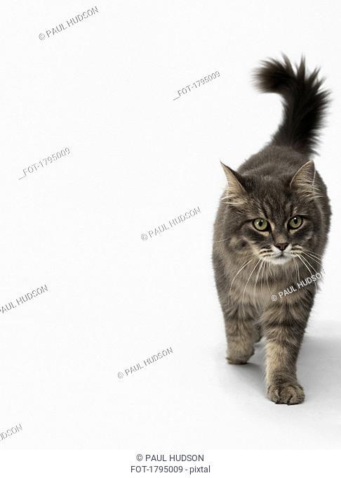 Cat walking on white background