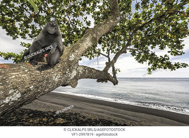 Black crested macaque (macaca nigra) in Tangkoko National Park, Northern Sulawesi, Indonesia, Asia