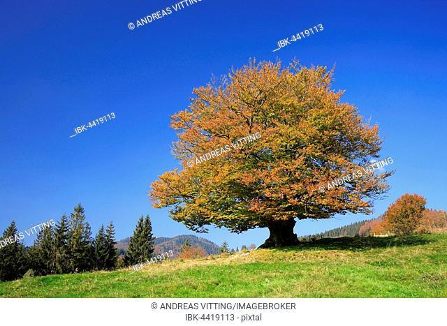 Huge old beech (Fagus sp.), Hutebuche, Hutebaum, high pasture, autumn colours, Black Forest, Baden-Württemberg, Germany