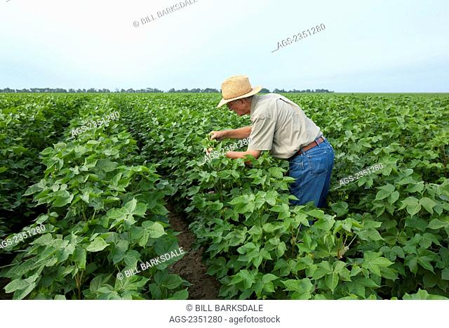 Agriculture - A crop consultant inspects a mid growth cotton crop at the peak fruit setting period / Arkansas, USA