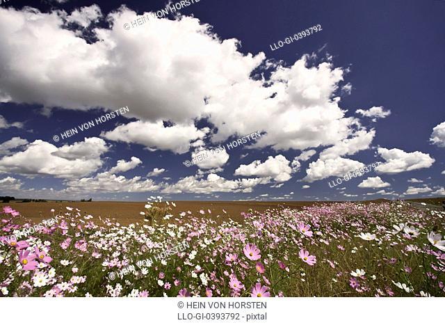 Cosmos flowers near Heidelberg, Gauteng Province, South Africa