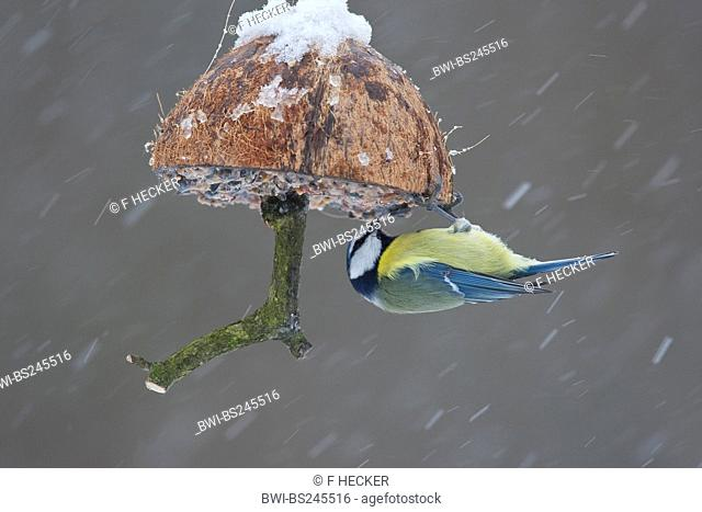 blue tit Parus caeruleus, at a self-made feed in a cup of a coconut, Germany
