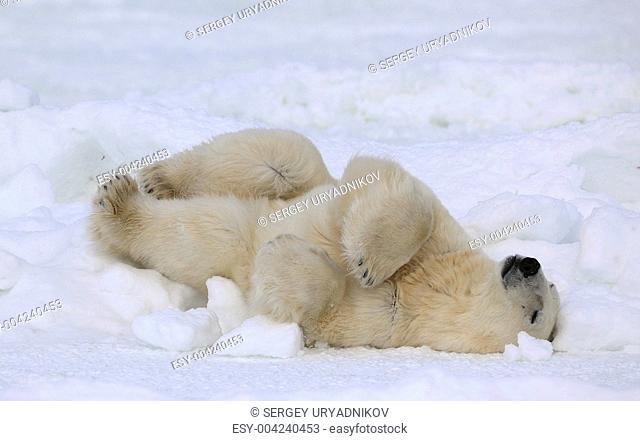 Rest of a polar bear