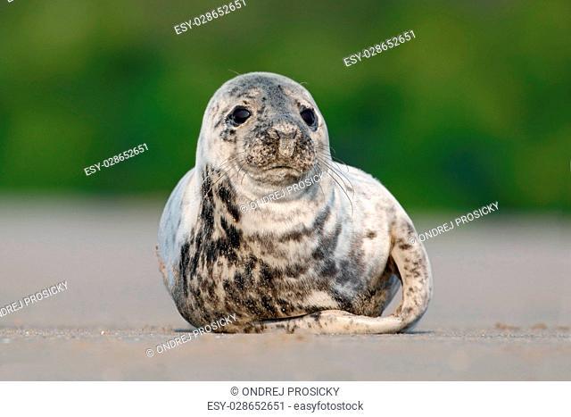 Grey Seal, Halichoerus grypus, Helgoland, Germany
