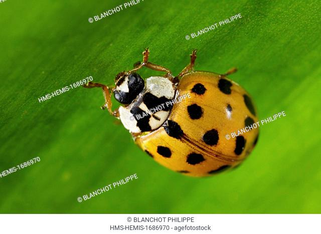 France, Coleoptera, Coccinellidae, Harlequin ladybird, Multicolored Asian lady beetle or Halloween lady beetle (Harmonia axyridis), 5 mm