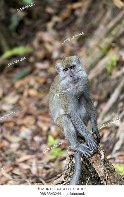 Asia, Indonesia, Borneo, Tanjung Puting National Park, Crab-eating macaque or long-tailed macaque (Macaca fascicularis), adlut male near by the water