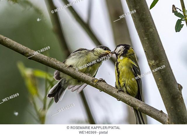 Germany, Saarland, Kirkel, A great tit on a branch fodders a young bird