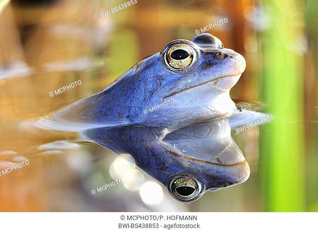 moor frog (Rana arvalis), male sitting in water, Germany