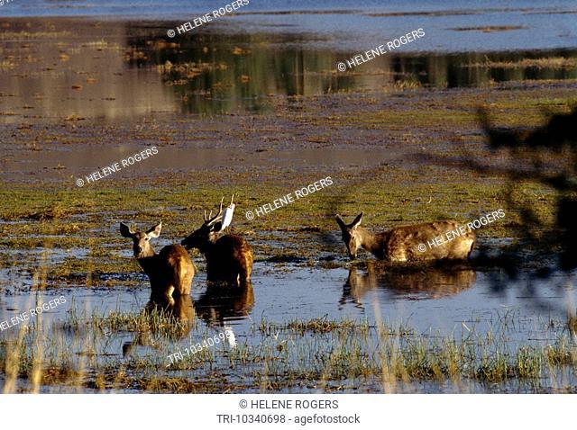Rantanbore National Park India Deer In Water Wildlife Sanctuary
