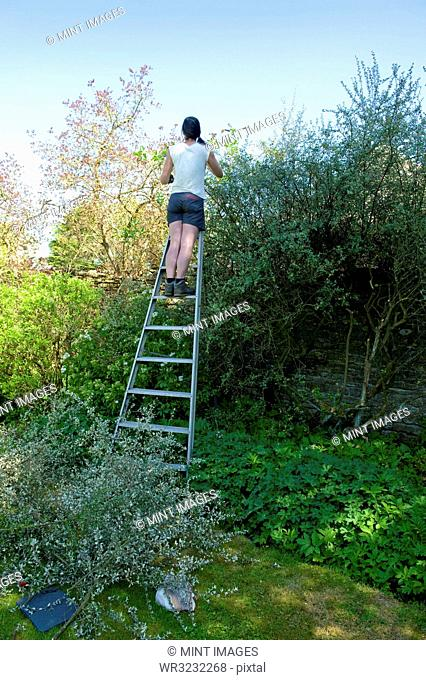 A woman in shorts on a tall ladder cutting and trimming a tall mature hedge