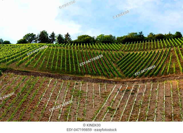 Ripening grapes on a vine plantation on a beautiful hot, sunny, summer day in western Germany
