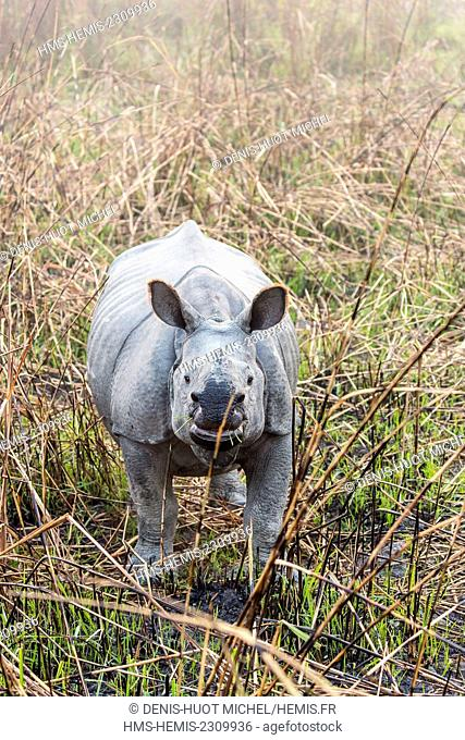 India, Assam, Kaziranga national park, listed as World Heritage by UNESCO, indian rhinoceros (Rhinoceros unicornis), meeting with a young one during an elephant...