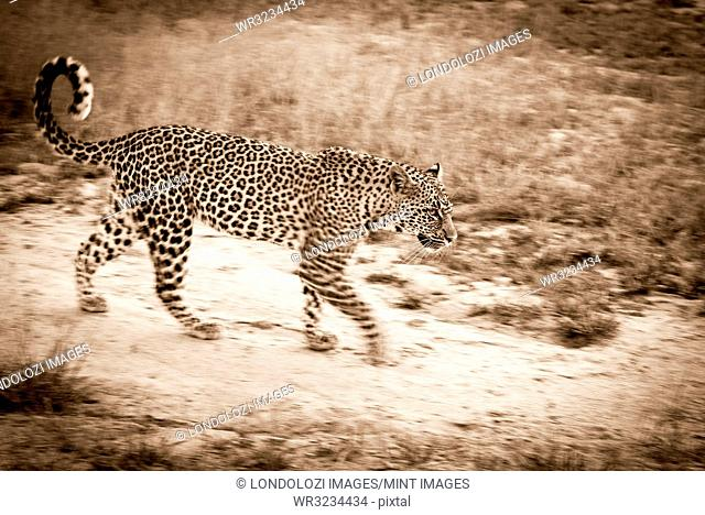 A blurred-motion sepia shot of a female leopard, Panthera pardus, walking on a game path with her tail curled in the air