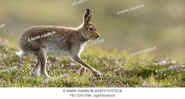 Mountain Hare (Lepus timidus) adult in summer pelage running across heather moorland