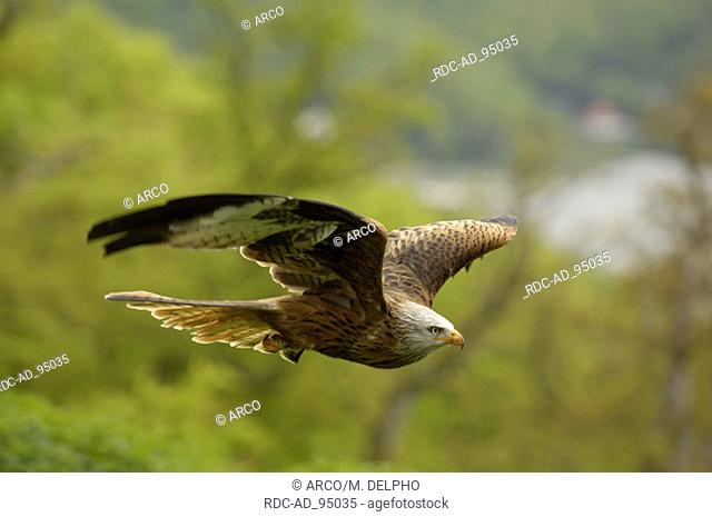 Red Kite Hessen Germany Milvus milvus