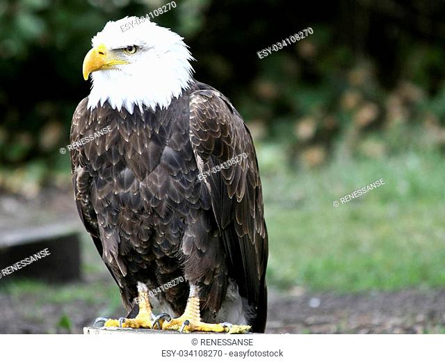 Bald eagle - American national bird