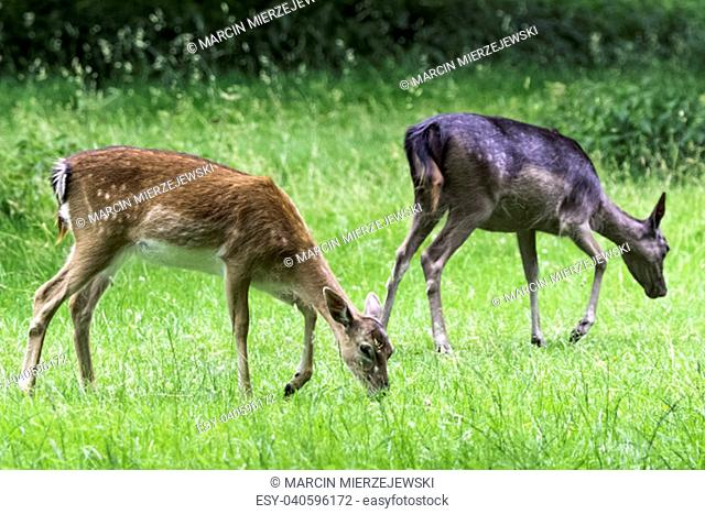 Wild young red deer