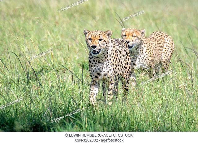 Maasai Mara National Reserve, Kenya, Cheetah (Acinonyx jubatus)