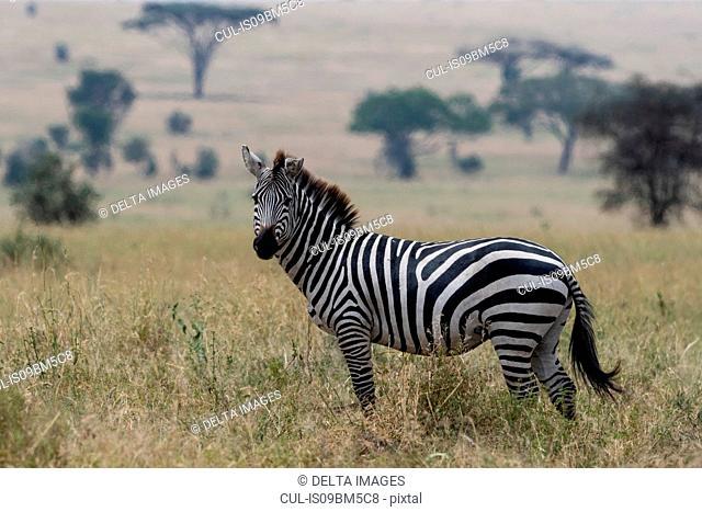 Plains zebra (Equus quagga), Seronera, Serengeti National Park, Tanzania