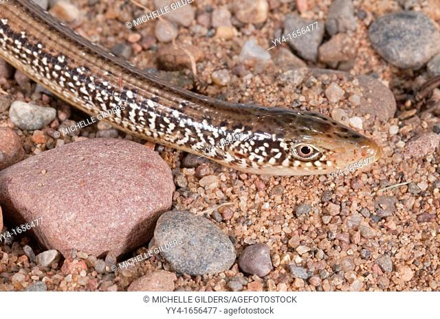 Eastern glass lizard, Ophisaurus ventralis, legless lizard native to southeastern United States