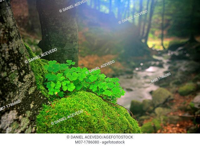 Misty Beech forest, Iberico mountain range, Rioja wine region, La Rioja, Spain, Europe