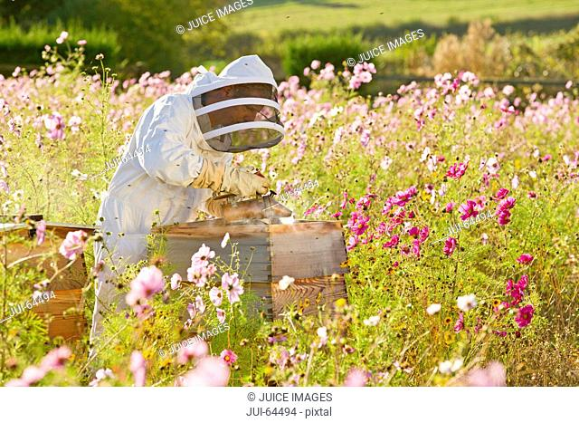 Beekeeper using smoker to check beehives in field full of flowers