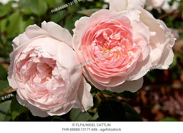 Flower blooms of Rose 'Shropshire Lad' a delicate pink shrub rose habit, August