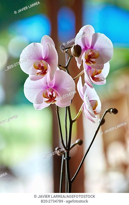 Orchid, Pereira, Risaralda, Colombia, South America
