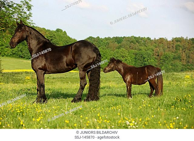 friesian horse and shetland pony - standing on meadow