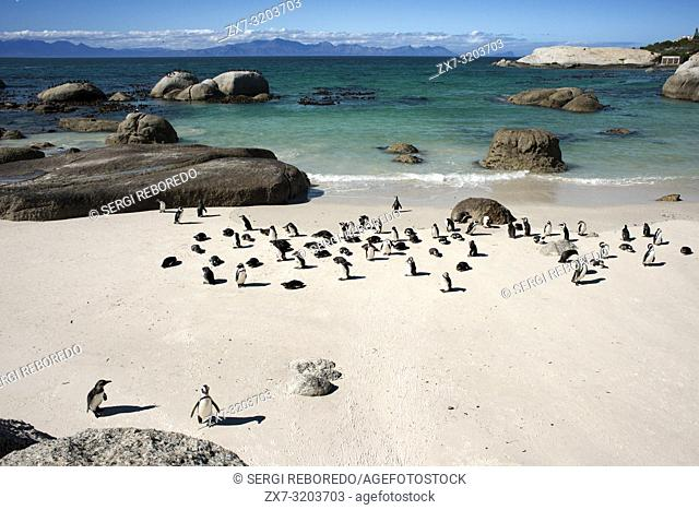 African Penguin, Spheniscus demersus, Boulders Beach, Simon's Town, Cape Town, Western Cape, South Africa
