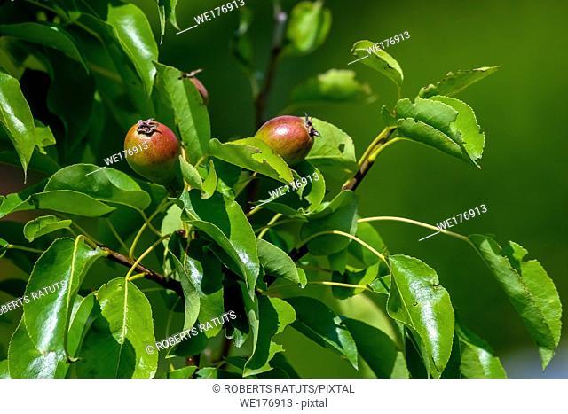Little pears on tree branch. Unripe pears on tree. Pears in garden. Summer fruits in Latvia