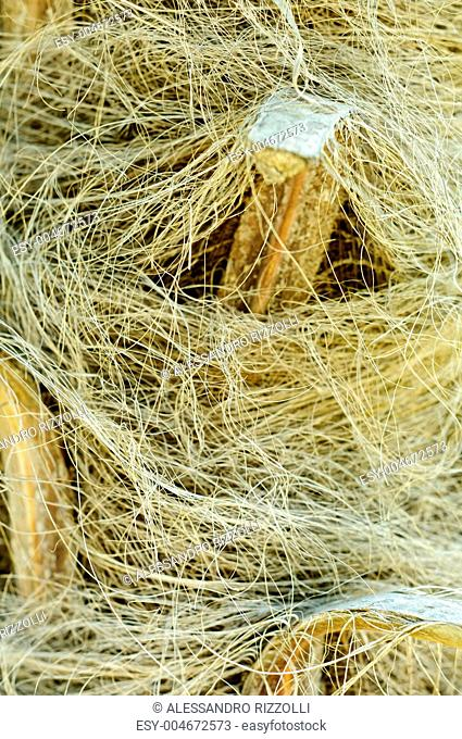 Windmill palm Trachycarpus fortunei trunk