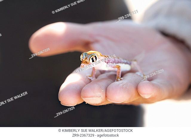 Small multi-colored Sand Gecko (Palmatogecko rangei) sits in the hand of a Caucasian man in the Namib Desert, Namibia, Africa