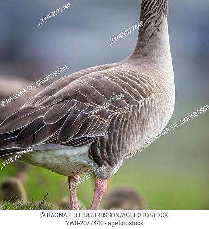 Portrait of Greylag Goose