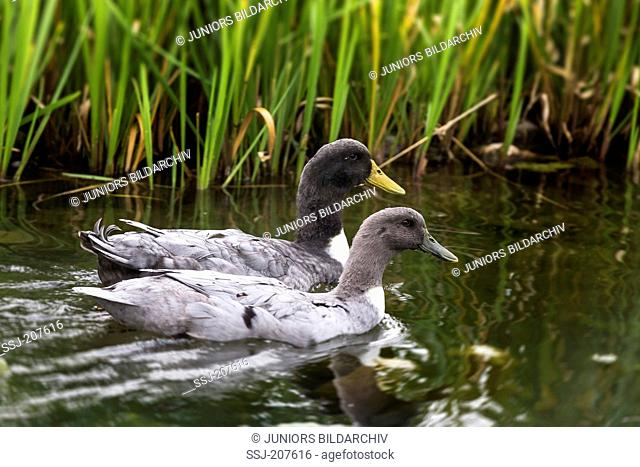 Pommern Duck. Couple swimming in front of reed. Germany