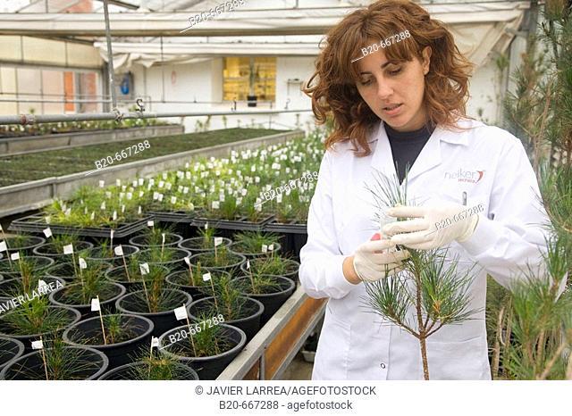 Molecular markers, Pines. Forest greenhouse. Biotechnology Laboratory, Neiker Tecnalia, Instituto de Investigación y Desarrollo Agrario, Ganadero