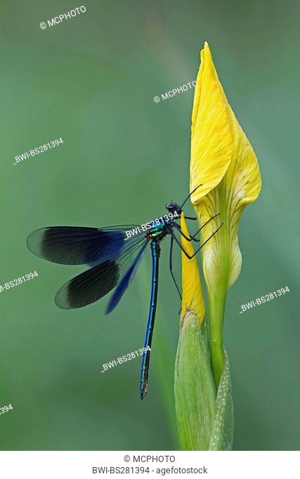 banded blackwings, banded agrion, banded demoiselle Calopteryx splendens, Agrion splendens, male at iris flower, Germany, North Rhine-Westphalia