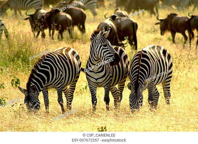 zebra 3 of a kind