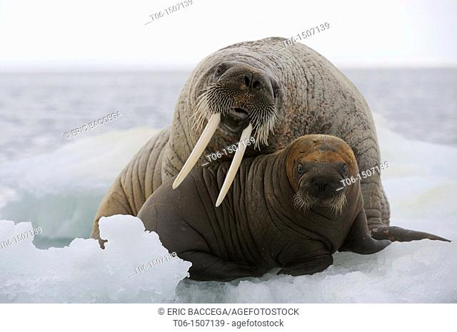 A female walrus and her calf resting on ice Odobenus rosmarus Foxe Basin, Nunavut, Canada