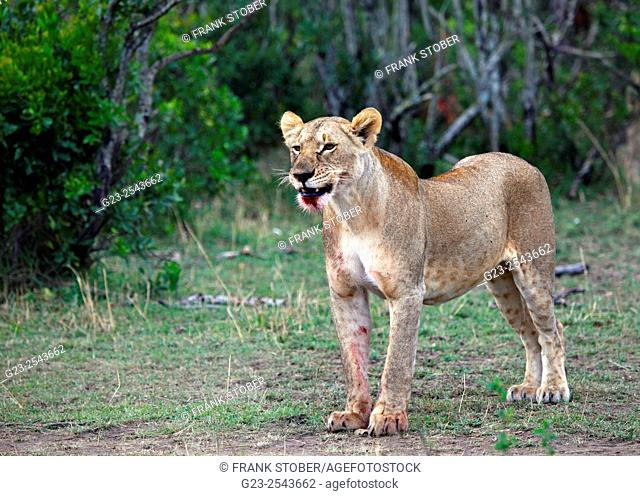Lion, female. Maasai Mara National Reserve, Kenya