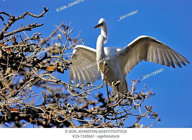 Great egret Casmerodius albus, Ardea alba, Egretta alba gathering material for stick nest