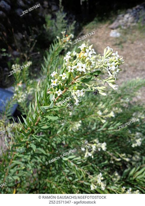 Flax-leaved daphne (Daphne gnidium). Catalonia, Spain