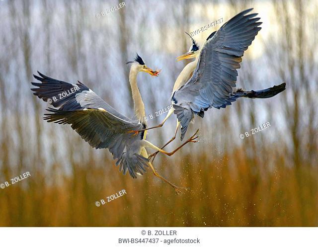 grey heron (Ardea cinerea), two grey herons quarelling for prey, Hungary, Kiskunsag National Park